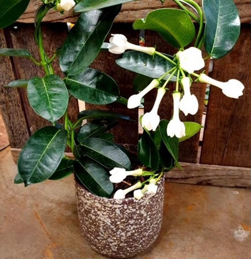 Stephanotis Plant & pot