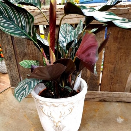 Calathea in Pot