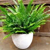 Boston Fern in a Pot