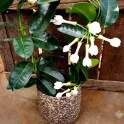 Stephanotis Plant & pot