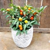 Solanum plant & pot